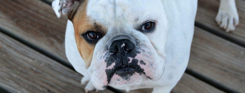 bromelina per cani