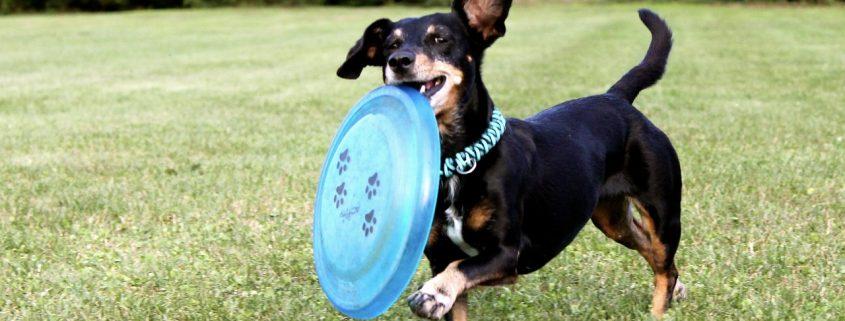 integratori-per-cani-dachshund