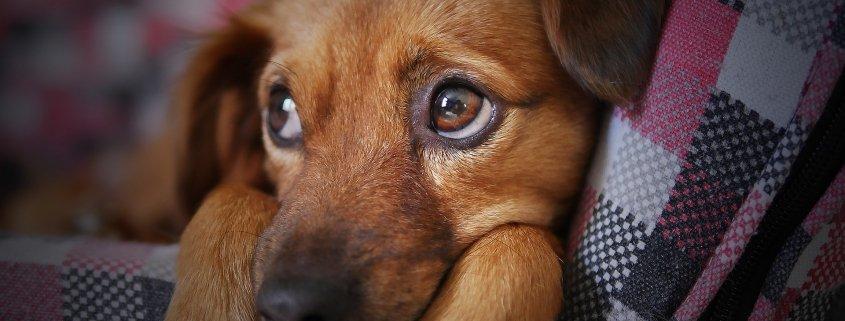 olio di fegato di merluzzo per i cani